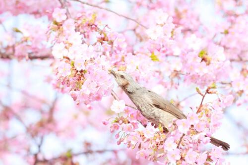 春のうぐいす