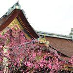 京都の梅といえば北野天満宮