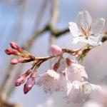 桜情報 | 京都御苑〜もう、すっかり見頃の桜や春の花たち〜