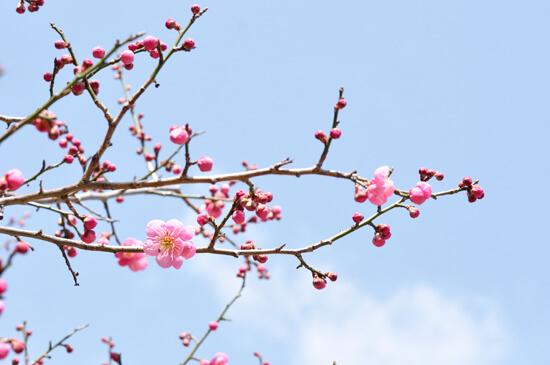 青空と京都御苑の梅