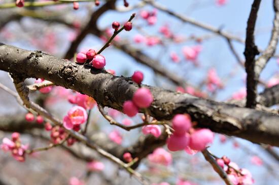 京都御苑梅のつぼみ