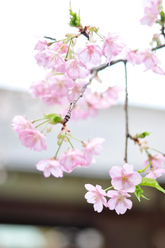 京都の早咲きの桜