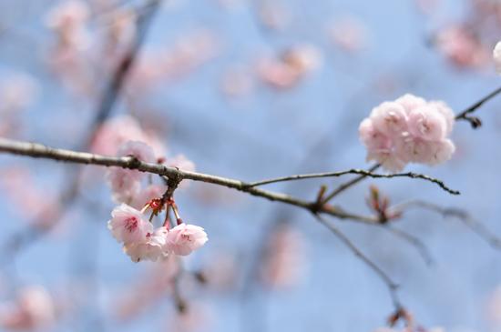 京都の可愛い桜