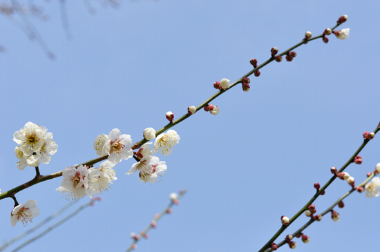京都御苑の白い梅と青い空