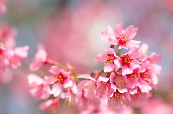 鴨川河川敷の桜