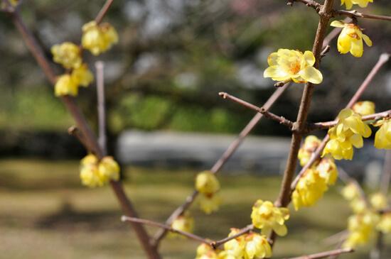 京都御苑 蝋梅