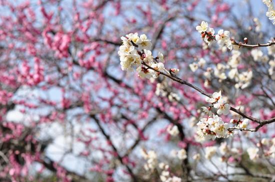 京都御苑の赤い梅と白い梅