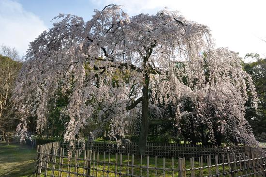 京都御苑・京都御所:桜
