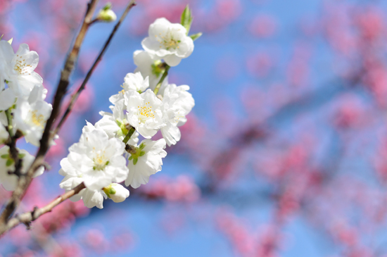 白く美しい京都御苑の桃