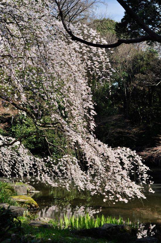 近衛邸跡近くの池に映る桜。