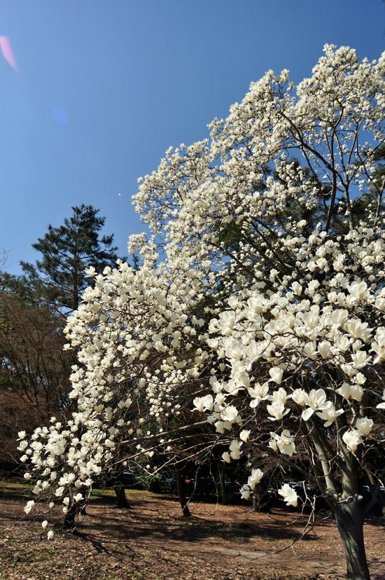 京都御苑に立つ一本の巨大モクレン