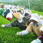 穀雨 | 八十八夜はちょうどこの季節。お茶が一番美味しい季節。