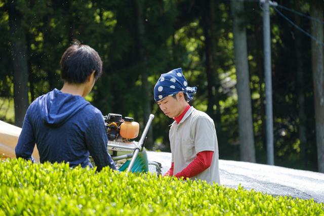 京都・和束町で茶の栽培に取り組む