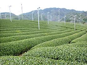 お茶の栽培